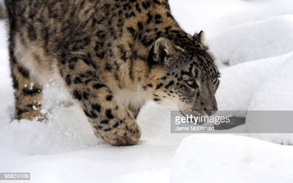 Snow Leopard walks in the snow at Banham Zoo on January 7 2010 in Norfolk United Kingdom The MET Office has put in place severe weather warnings for...