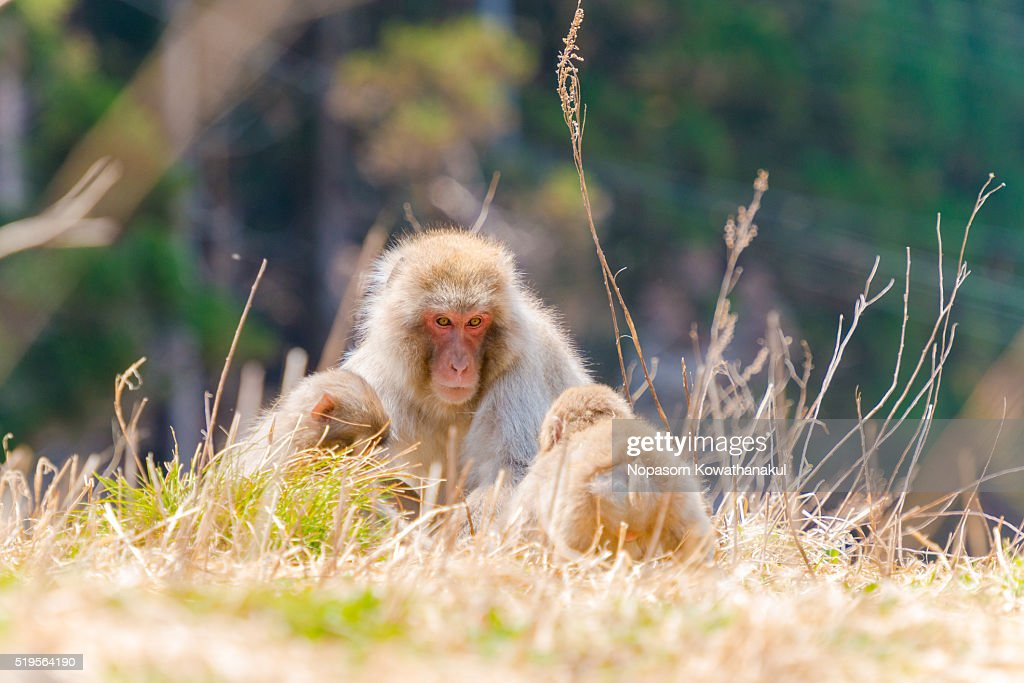 Snow monkey family living together