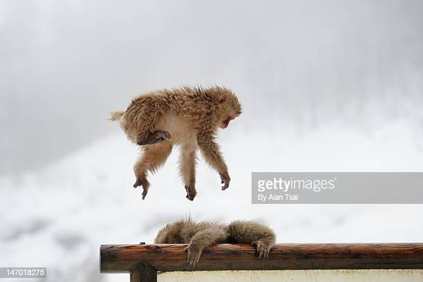 Snow monkey fly