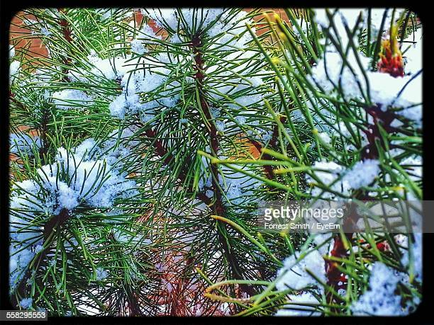 Snow On Coniferous Tree