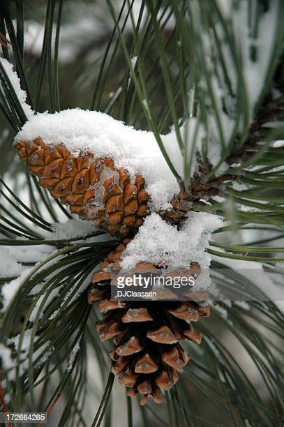 Snow on Pine Cones