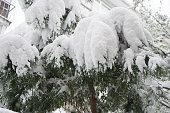 http://www.istockphoto.com/photo/snow-on-the-pine-tree-gm654870042-119104199