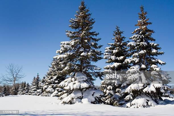 雪の冬の常緑樹の森林松の木の景色や、ミネソタ州ミネアポリス