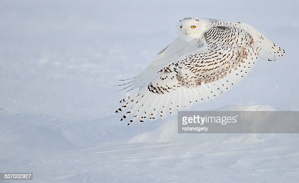 Snow Owl (Bubo scandiacus) flying, Mirabel, Canada