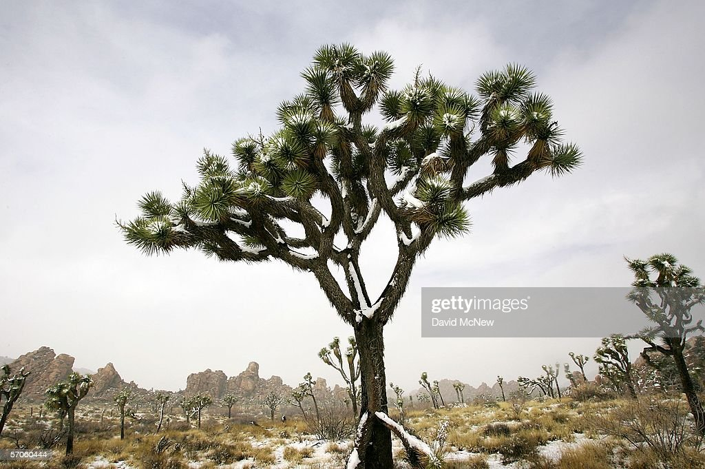 Snow surrounds Joshua trees during a short break in a storm that is bringing snow to particularly low elevations across southern California on March...