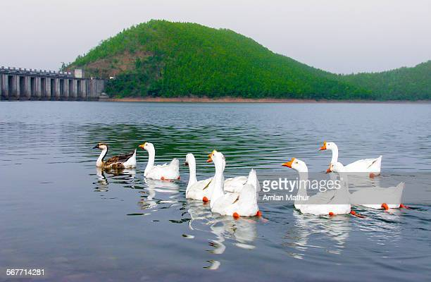 Snow white geese swimming in a lake