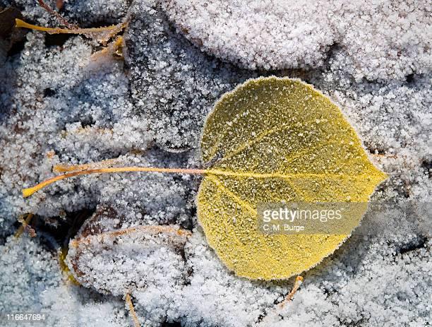 Snow with aspen leaf