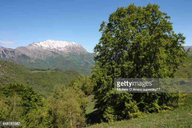 Snowcapped mountains and old beech tree