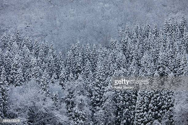 Snowcapped trees