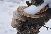 Up-close view of a Snow-Covered Artist's Conk Mushroom on the Side of a Tree.
