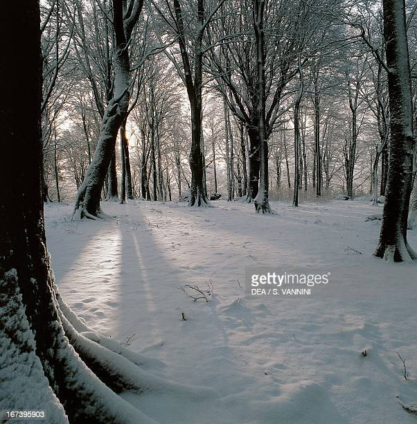 Snowcovered European beech wood in winter Lazio region Italy
