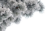 Snow-covered pine branches on white background