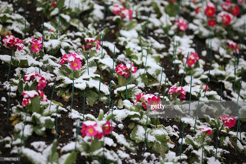 Snow-covered primroses in St James's Park on January 14, 2013 in London, England. Several counties in England have received light snowfall overnight. Met Office forecasters are warning of a very cold week throughout the UK and heavier snow predicted to fall across much of the country.