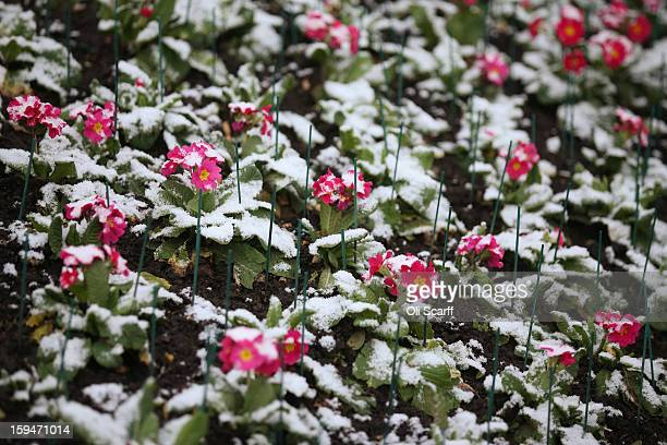 Snowcovered primroses in St James's Park on January 14 2013 in London England Several counties in England have received light snowfall overnight Met...
