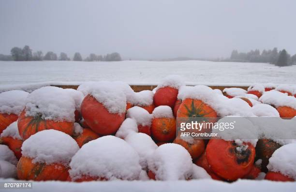 Snowcovered pumpkins lie on a field after the first snowfall near Wertach southern Germany on November 6 2017 / AFP PHOTO / dpa / KarlJosef...