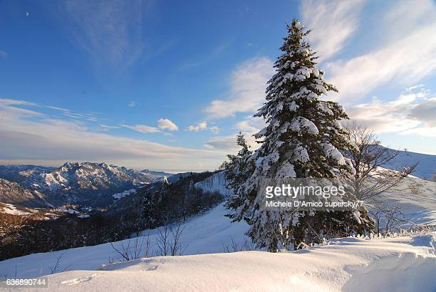 Snowcovered spruce tree