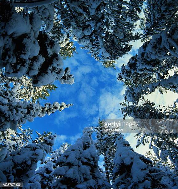 Snow-covered trees, low angle view, Norway