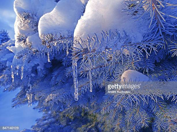Snow-covered twig of fir tree