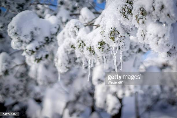 Snow-covered twig of fir with icicles