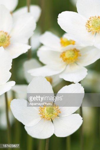 Snowdrop Anemone (Anemone sylvestris) - IX