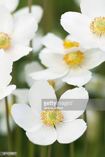 Galanthus Anemone occidentalis sylvestris