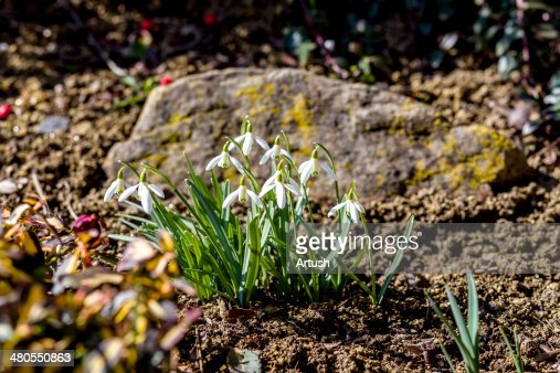 Snowdrop bloom in springtime : Stock Photo
