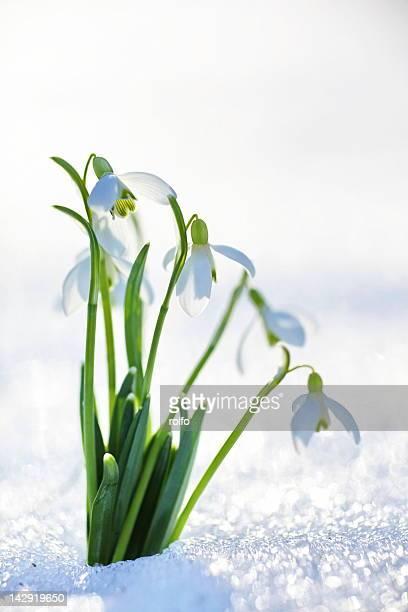 Snowdrop on flower