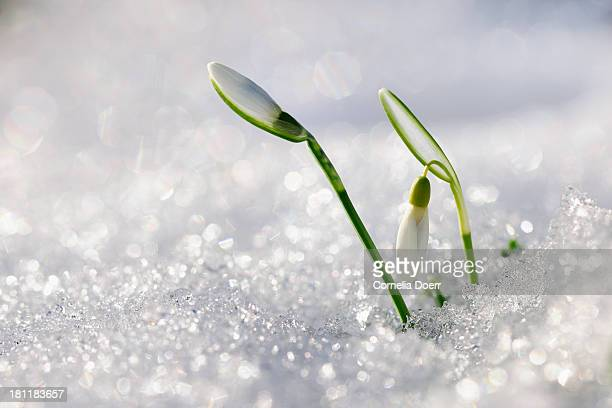 Snowdrops, a sign of spring