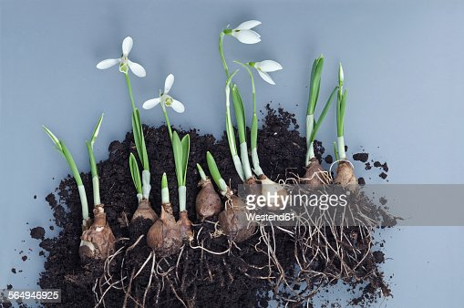 Snowdrops, bulbs and potting soil