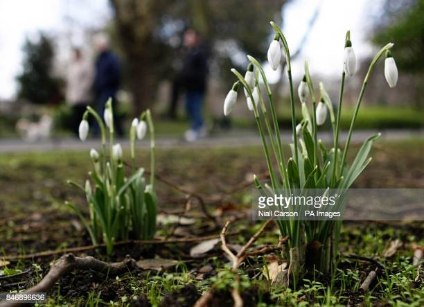 Snowdrops in St Stephens Green in Dublin on St Bridget's Day which in Ireland traditionally marks the beginning of Spring