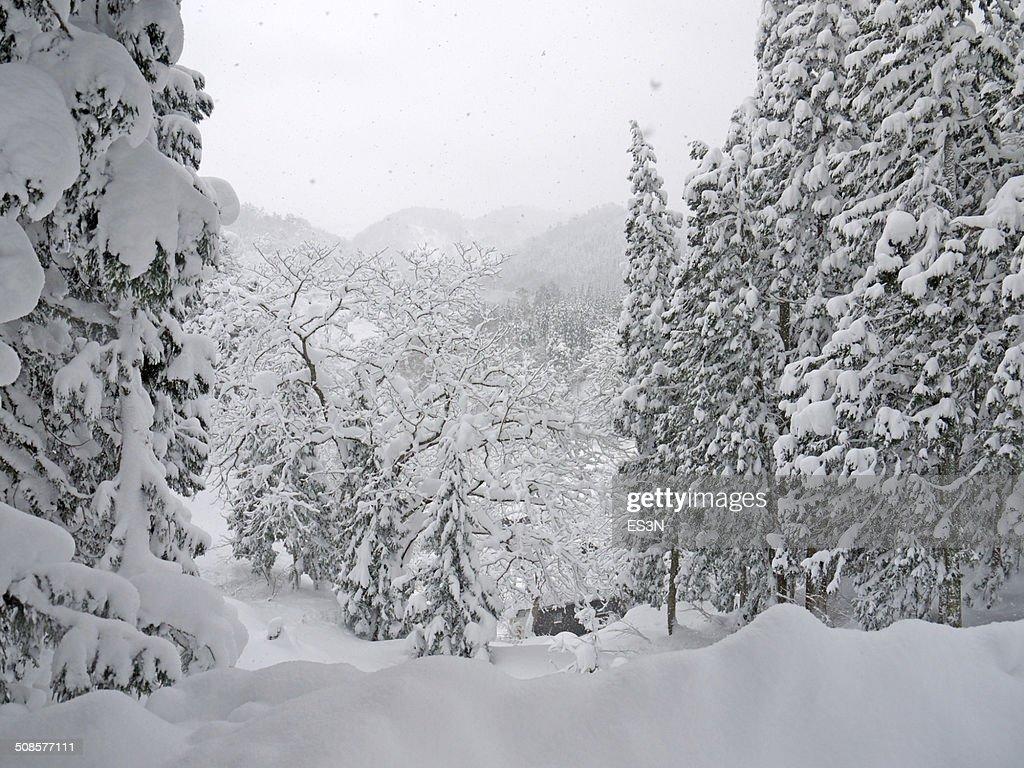 の降雪で、冬の森。 : ストックフォト