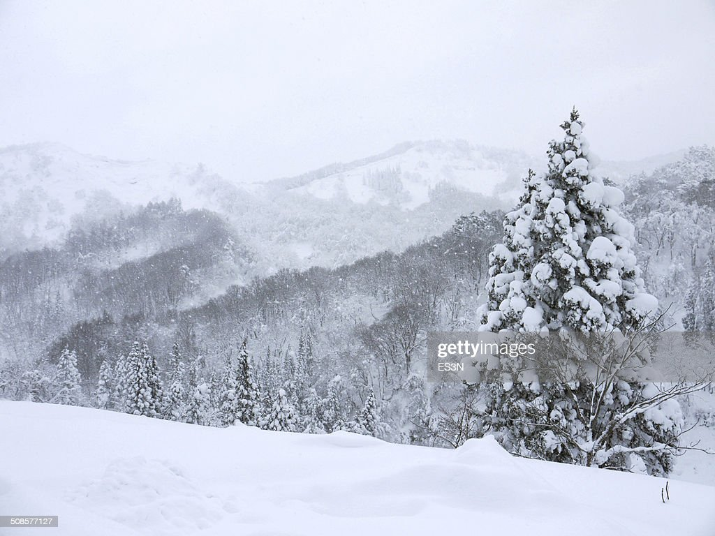 Snowfall in a Winter forest. : Stockfoto