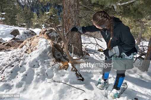 Snowshoeing woman inspects massive winter kill bull elk Evergreen Colorado : Stock Photo