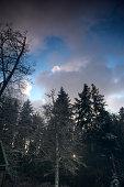 Snowy Alder
