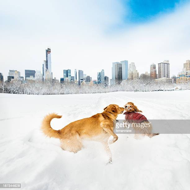Dogs playing in snowy Central Park, New York. USA.