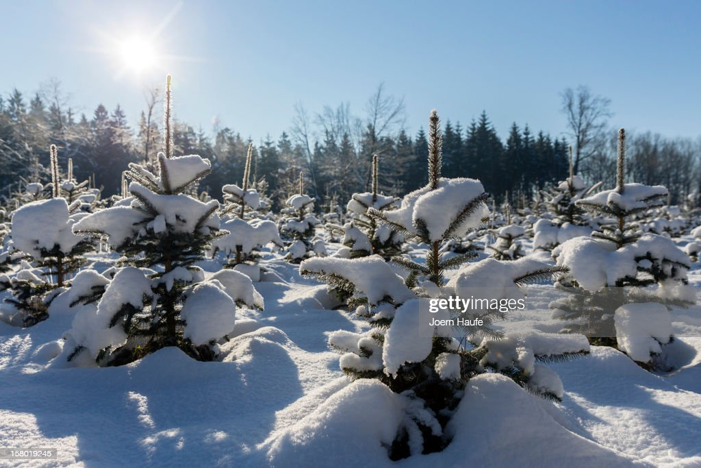 Snowy christmas trees stand in a plantation of christmas trees in a forest on December 8, 2012 in Fischbach, Germany. Forestry officials in the state of Saxony officially opened the 2012 Christmas tree season for people who want to retrieve their tree from designated forests rather than just buying it readily cut.