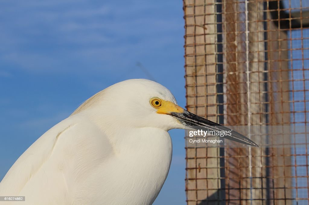 Snowy Egret at Pier : Stock Photo