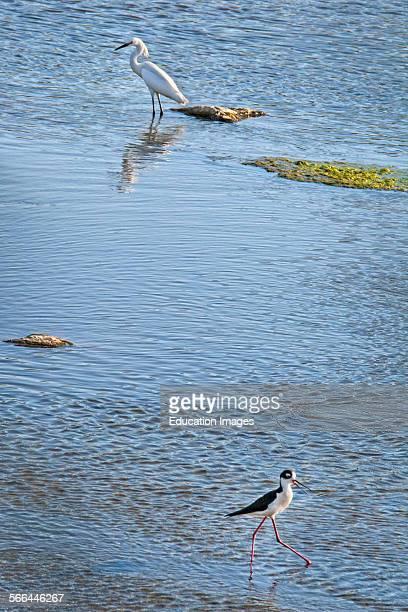 A Snowy egret Egretta thula and Blacknecked stilt Himantopus mexicanus in the Los Angeles River Sepulveda Basin Recreation Area Los Angeles California