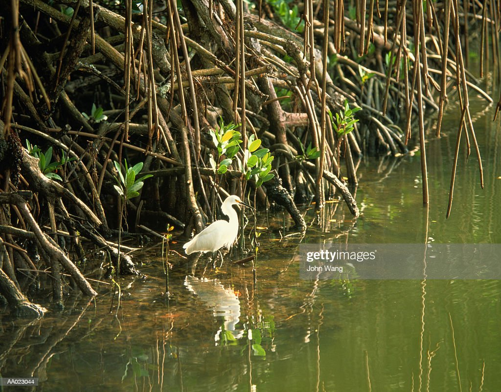 Snowy Egret in Everglades National Park Swamp : Stock Photo