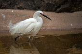 Snowy Egret in water