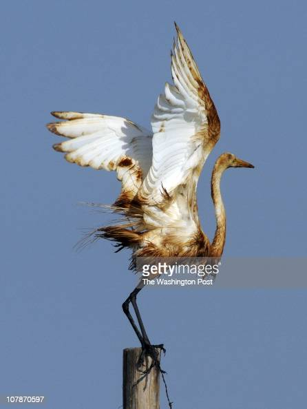 A snowy egret on Grand Terre Island in Barataria Bay is covered with oil spilled from the Deepwater Horizon rig Photographed in Grand Isle Louisiana...