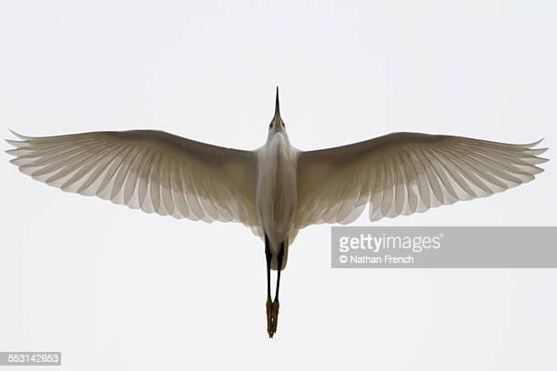 A snowy egret overhead