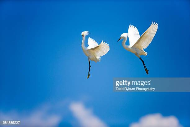 Snowy Egrets in Flight