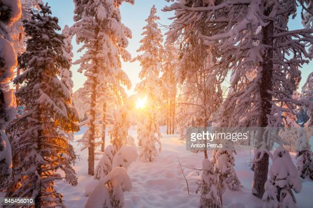 Snowy forest at sunset