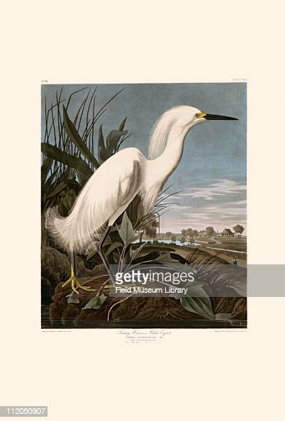 Snowy Heron Plate 242 in John James Audubon's Birds of America late 1830s