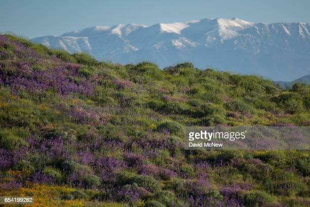 Snowy mountains are seen behind flowercovered hills after prolonged record drought gave way to heavy winter rains causing one of the biggest...