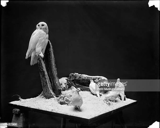 Snowy Owl and Willow ptarmigan with an Arctic Fox in background Bird diorama or group illustrating Protective Coloration of Birds and Mammals in High...