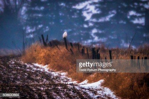 Snowy Owl at the Farm : Stock Photo