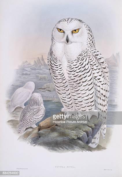 Snowy Owl by John Gould