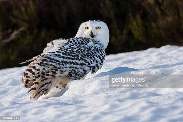 Snowy owl in the snow.